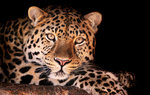 Leopards Wallpapers: Picture 218249