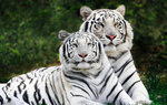 Wild cats Wallpapers: Picture 72109