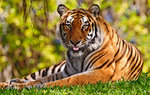 Wild cats Wallpapers: Picture 72105
